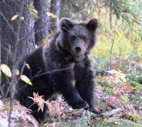 Найденного в «Новой Москве» медвежонка выпустят в лес