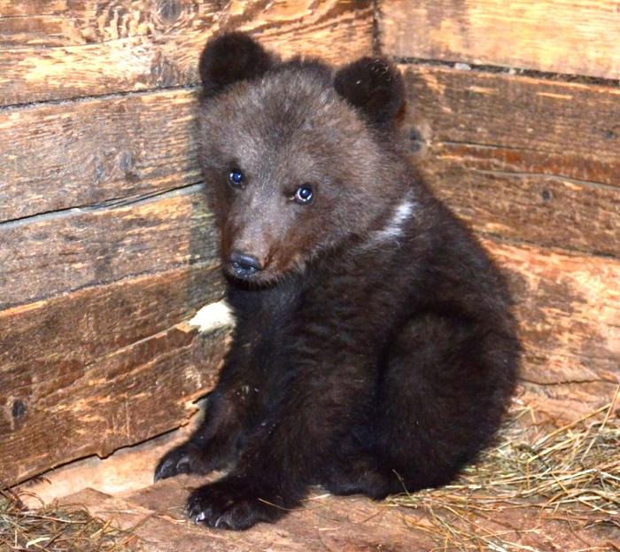 В «новой Москве» нашли двух осиротевших медвежат