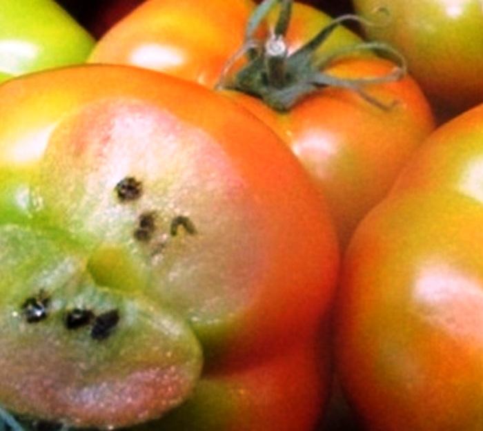 Россельхознадзор в ТиНАО обнаружил томатную моль в двух партиях томатов из Туркменистана